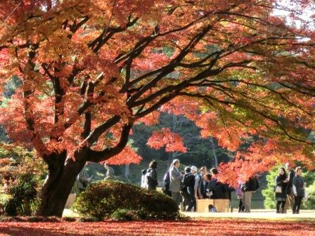 The huge, famous maple tree in Rikugien Garden, Tokyo, Japan.